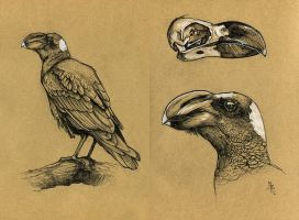 Thick billed raven - 100animals100days by wolf-minori