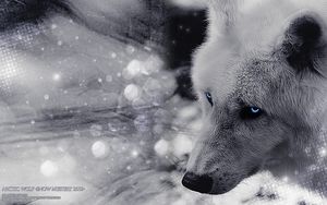 Arctic Wolf-Snow Mystery 2009- by WhiteSpiritWolf