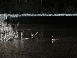 Geese by KBeezie