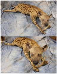 Hyena (2) by WeirdCityTaxidermy