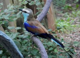 Abyssinian roller by illmatar