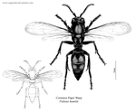 Common Paper Wasp by oxpecker