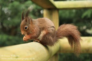 Red Squirrel by twilliamsphotography