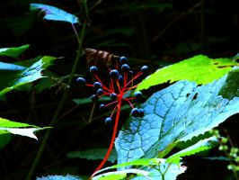 Blue berry, red plant by fotofox17