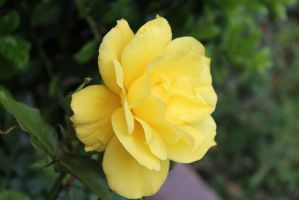 Yellow Rose in Oklahoma by LoloAlien