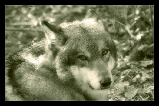Canis lupus by SpringlighT