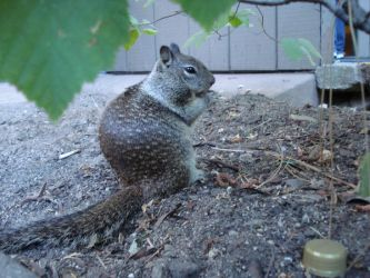 Yosemite Squirrel 2 by almostexpelled