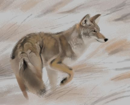 Coyote Study 23-01-18 by Servaline