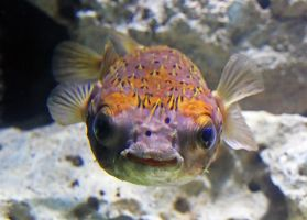 Porcupine Pufferfish by SnowPoring