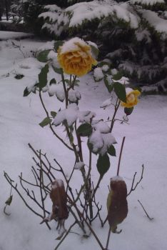 Roses in the snow by Misandryl