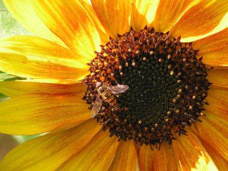 sunflower with hoverfly by beetfreeq