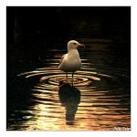 Seagull with Sunset 2 by mlhplt