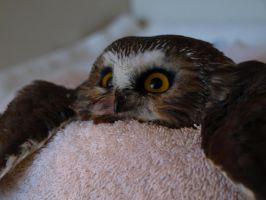 Wheatley the Saw Whet Owl by KodaSilverwing