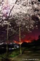 Sakura at night by WindyLife