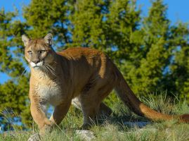 Mountain lion... by White-Voodoo