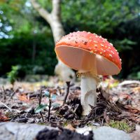 Fly Agaric With A Hole In The Cap by aegiandyad
