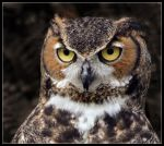 Great Horned Owl by tyt2000