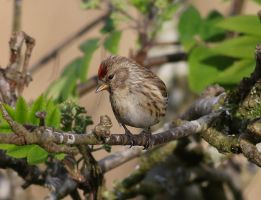 Redpoll  (female) by NurturingNaturesGift