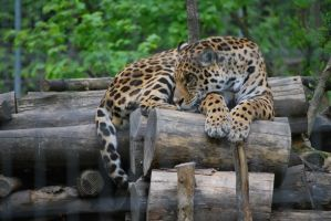 I Watching my Cubs by NicamShilova