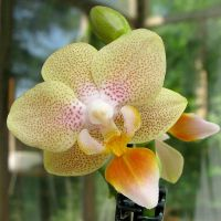 Phalaenopsis mini by cat-at-the-window