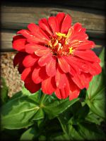 Zinnia for Jocelyne by DanaAnderson