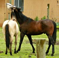 Horse Play- Stock by OneLifeStock