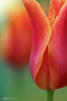 Tulips IV by shalgona