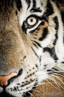 Tiger 1 by photogenic-art