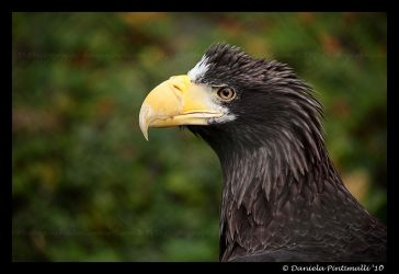 Stellers Sea Eagle by TVD-Photography