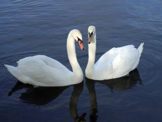 Two Swans, One Heart by charzi