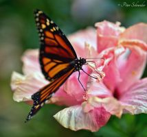 Danaus plexippus. by Phototubby