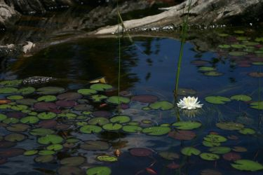 Water Lily by Healer-Guy