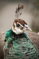 Dignified Lady - Indian Peahen by Spirit-whales