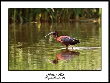 Glossy Ibis by MrStickman