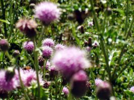 Thistles by Elliesmeria