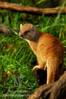 Yellow Mongoose by Shadow-and-Flame-86