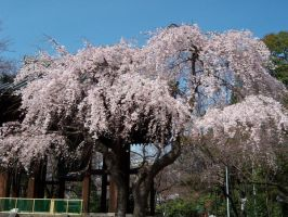 Cherry Blossom by QuietWhisper78