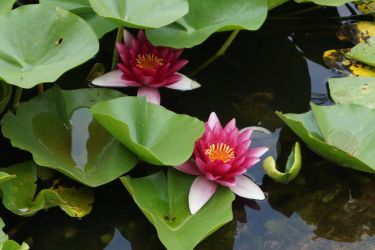 Water lily by Doris1991