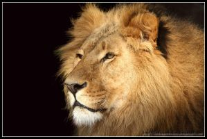 Lion portrait III by AF--Photography