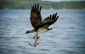Osprey with Fish by untitledphotographer
