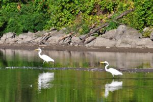 Pair of Egrets - 2013 by insanity-pillz