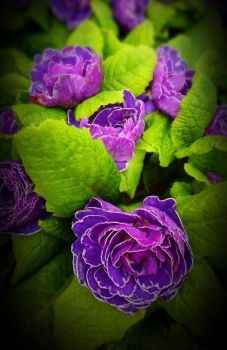 Perfectly Purple Primroses by ArtistryFromOregon