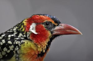 Red and Yellow Barbet by robbobert