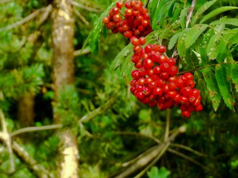 Red berries by Johnt447