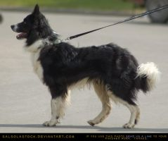 Border Collie 1 by SalsolaStock