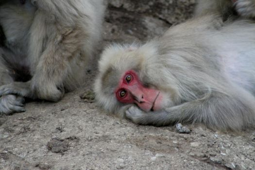 Snow Monkey by AshleyLegit