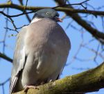 Wood Pigeon by dramaticpeanut