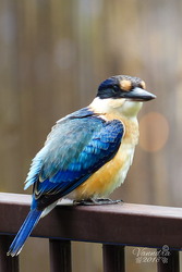 Forest Kingfisher, our new garden resident by vanndra