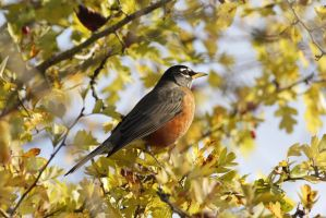 American Robin by lauph-1t-up