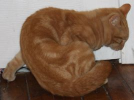 Orange Kitty Stock 13 of 18 ~ Nomad by Lovely-DreamCatcher